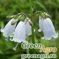 Аденофора трехлистная японская (Adenophora triphylla var. japonica) 0.5 гр.