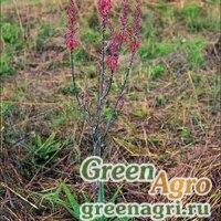 Алоэ Барбертона (Aloe barbertoniae) 500 шт.