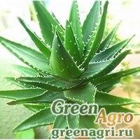 Алоэ (Aloe branddraaiensis) 500 шт.