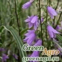 Аденофора  широколистная (Adenophora pereskiifolia) 1,3 гр.