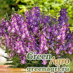 "Ангелония узколистная (Angelonia angustifolia) ""Serenita F1"" (purple) pelleted 100 шт."