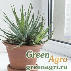 Алоэ древовидное (Aloe arborescens) 500 шт.