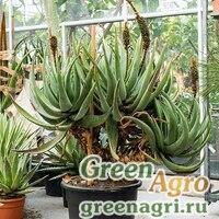 Алоэ каштановое (Aloe castanea) 500 шт.