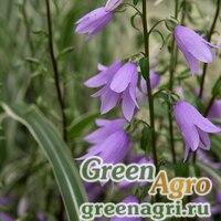 Аденофора корейская (Adenophora koreana) 0.8 гр.
