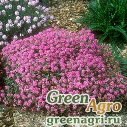 """Алиссум морской (Lobularia maritima) """"Minimum"""" 25 гр."""