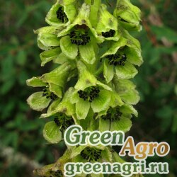 Аконит саянский (Aconitum sajanense) 3,5 гр.