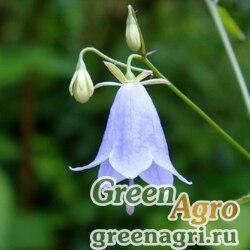 Аденофора растопыренная (Adenophora divaricata) 1,2 гр.