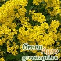 Алиссум дагестанский ф скальная (Alyssum dagestanica f saxatilis) 1,5 гр.