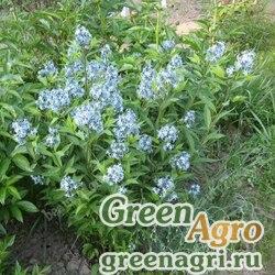 Амсония табермонтана (Amsonia tabernaemontana) 4 гр.