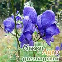 Аконит крупноносый (Aconitum macrorynchum) 3,5 гр.