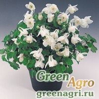 "Семена Аквилегия вееровидная (Aquilegia flabellata) ""Cameo"" (WHITE) 0.2 гр."
