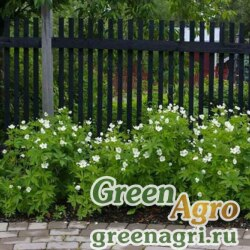 Анемона (Ветреница) канадская (Anemone canadensis) 3 гр.