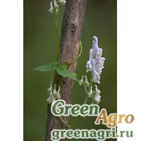 Аконит бело-фиолетовый (Aconitum albo-violaceum) 3 г