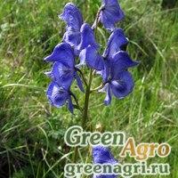 Аконит Паско (Aconitum paskoi) гр.
