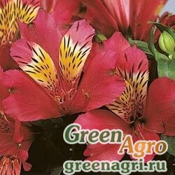 """Альстремерия гибридная (Alstroemeria hybrida) """"Jazze"""" (deep rose) raw 100 шт."""