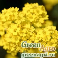 "Алиссум горный (Alyssum montanum) ""Mountain gold"" Raw Произв. 1000 шт."