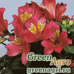 """Альстремерия гибридная (Alstroemeria hybrida) """"Jazze"""" (deep rose) raw 500 шт."""