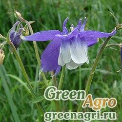 Аквилегия кавказская (Aquilegia caucasica) 2 гр.