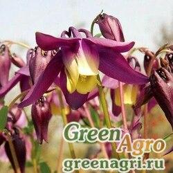 Аквилегия остролистная (Aquilegia oxysepala) 2 гр.