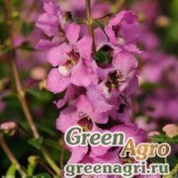 "Семена Ангелония узколистная (Angelonia angustifolia) ""Serenita F1"" (lavender pink) pelleted 100 шт."
