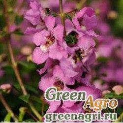 "Ангелония узколистная (Angelonia angustifolia) ""Serenita F1"" (lavender pink) pelleted 100 шт."