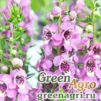 "Ангелония узколистная (Angelonia angustifolia) ""Serenita F1"" (pink) pelleted 100 шт."