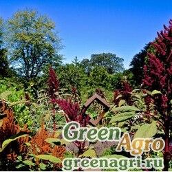 Амарант (Amaranthus sp.) 30 гр.