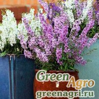 "Ангелония узколистная (Angelonia angustifolia) ""Serena F1"" (white) pelleted 100 шт."