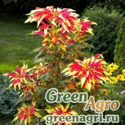 "Амарант трехцветный (Amaranthus tricolor) ""Perfecta"" 20 гр."
