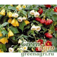 "Семена Абутилон гибридный (Abutilon hybridum) ""Bellvue"" (mix) 10 гр."