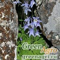 Семена Аквилегия Бородина (Aquilegia borodinii) 0,6 гр.
