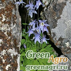 Аквилегия Бородина (Aquilegia borodinii) 0,6 гр.