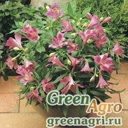 """Альстремерия гибридная (Alstroemeria hybrida) """"Jazze"""" (purple rose) raw 100 шт."""