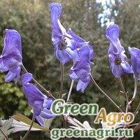 Аконит извилистый (Aconitum arcuatum) 5 гр.