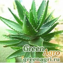 Алоэ (Aloe burgerfortensis) 500 шт.
