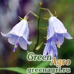 Аденофора лилиелистная (Adenophora lilifolia) 2 гр.