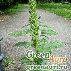 Амарант запрокинутый (Amaranthus retroflexus) 60 гр.