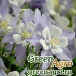 "Аквилегия гибридная (Aquilegia hybrida) ""SONGBIRD F1"" (BLUEBIRD) raw 100 шт."