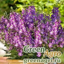 "Ангелония узколистная (Angelonia angustifolia) ""Serena F1"" (purple) pelleted 100 шт."