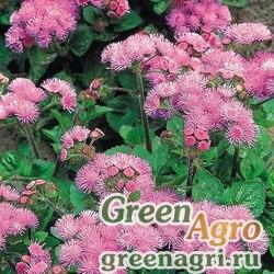 """Агератум мексиканский (Ageratum houstonianum) """"Pink Ball"""" 15 гр."""