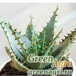 Алоэ Брума (Aloe broomii) 500 шт.