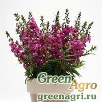 "Ангелония узколистная (Angelonia angustifolia) ""Serenita F1"" (raspberry) pelleted 100 шт."