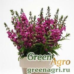 "Ангелония узколистная (Angelonia angustifolia) ""Serenita F1"" (raspberry) pelleted 100 шт."