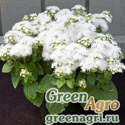 "Агератум мексиканский (Ageratum houstonianum) ""White Вall"" 15 гр."