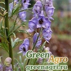 Аконит Щукина (Aconitum schukinii) 3,5 гр.