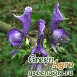 Аконит шерстистоплодный (Aconitum lasiocarpum) 2 гр.