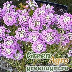 Алиссум/Бурачок разностебельный (Alyssum diversicaule) 2,5 гр.