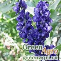 Аконит открытоцветковый (Aconitum chasmanthum) 2 гр.