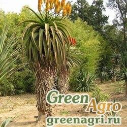 Алоэ ангелика (Aloe angelica) 500 шт.