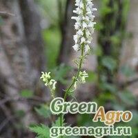Аконит восточный (Aconitum orientale) 3,5 гр.